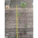 100 plants de Laurier palme 100/150cm
